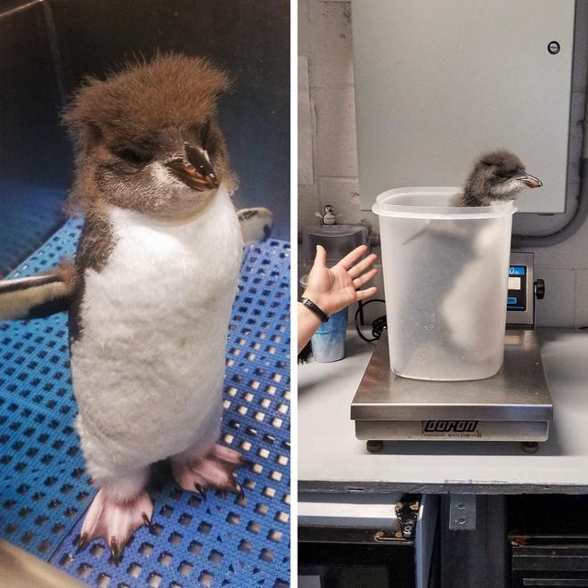 Nhân viên chăm sóc động vật chia sẻ trăm phương ngàn kế hết sức đáng yêu để có thể cân các bé động vật sơ sinh - Ảnh 1.