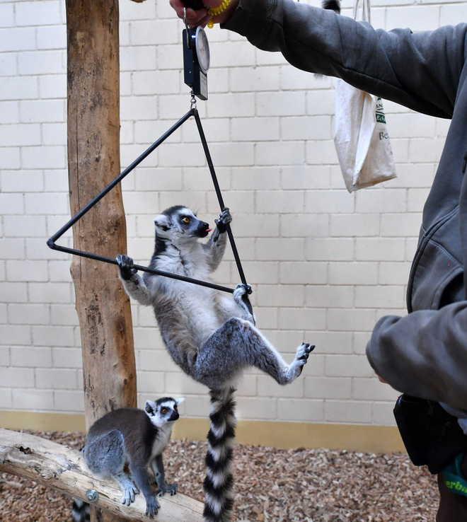 Nhân viên chăm sóc động vật chia sẻ trăm phương ngàn kế hết sức đáng yêu để có thể cân các bé động vật sơ sinh - Ảnh 7.