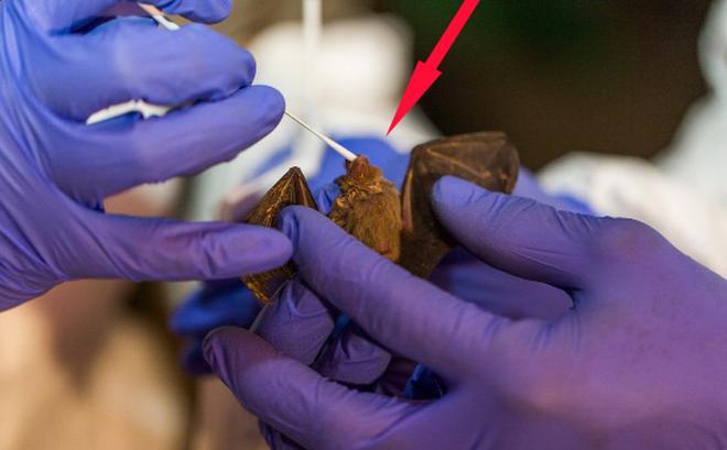 Phát hiện: Dơi có thể là vật chủ của hơn 3.200 loài virus corona chưa từng được phát hiện!