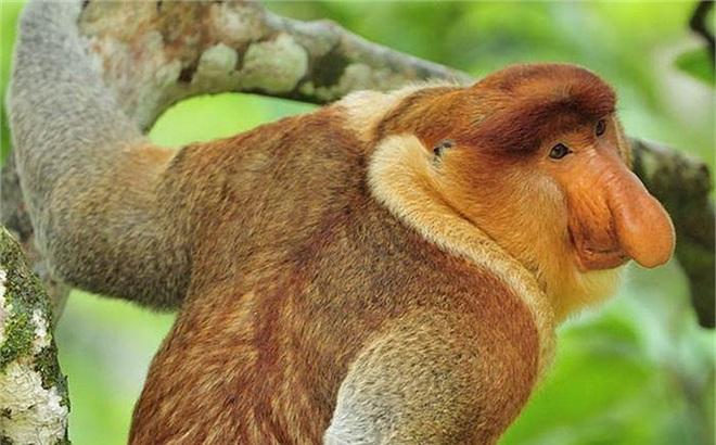 Clip: Khỉ Vòi liều mình đánh lạc hướng cá sấu cứu khỉ mẹ