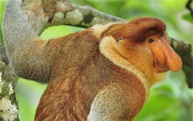 Clip: Khỉ Vòi liều mình đánh lạc hướng cá sấu cứu khỉ mẹ - Ảnh 1.