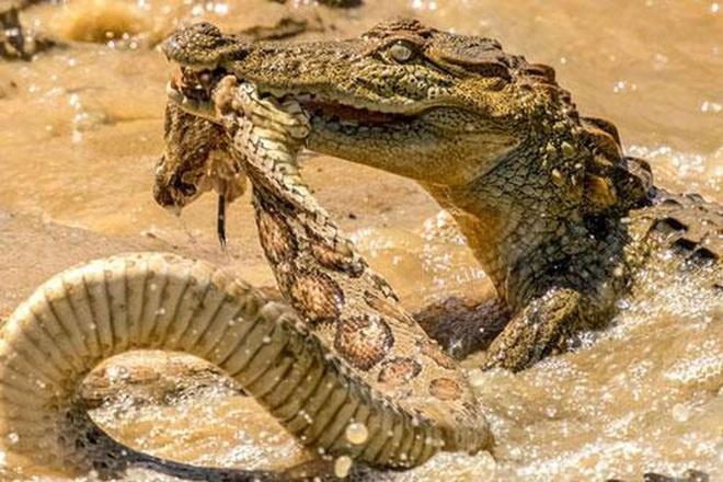 Thuộc tứ đại nọc độc của Ấn Độ, rắn hổ bướm vẫn bị cá sấu hành hạ rồi ăn thịt - Ảnh 1.