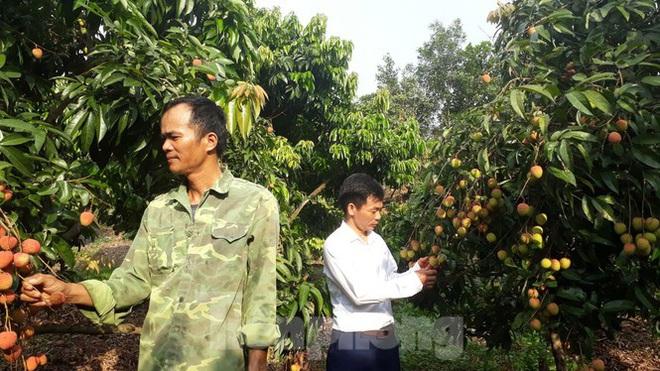 Cho 309 thương nhân Trung Quốc sang Việt Nam mua vải thiều - Ảnh 1.