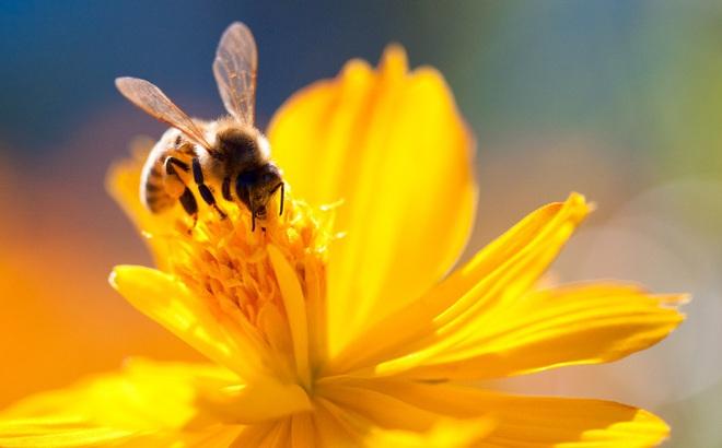 """""""Đặc quyền được chết"""" của ong đực: Bài học thấm thía cho con người từ thế giới khắc nghiệt của loài ong"""