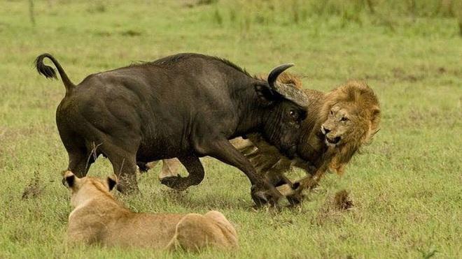 1 chọi 4: Trâu rừng lì đòn, đơn độc chiến đấu với 4 con sư tử cái, kết cục ra sao? - Ảnh 1.