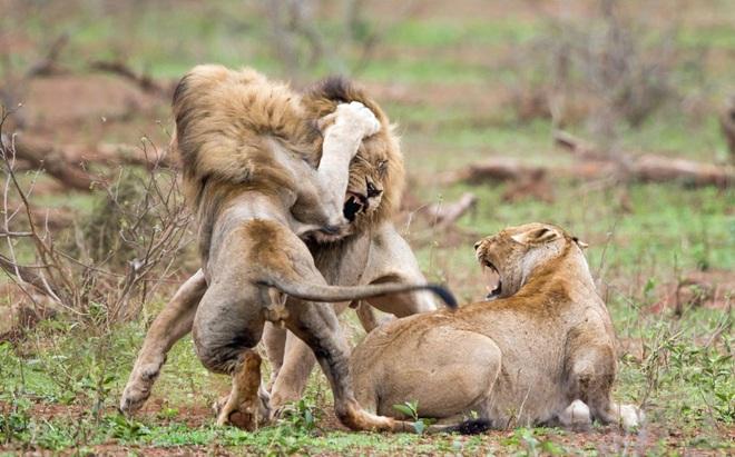 Đang yên đang lành, 3 con sư tử đực kéo đến hành hạ con sư tử cái: Nguyên nhân thực sự là gì? - Ảnh 1.