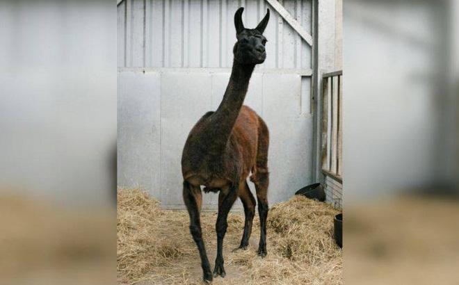 Kháng thể từ lạc đà không bướu có thể giúp điều trị Covid-19?