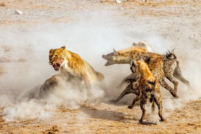 Tranh cướp thức ăn của sư tử, linh cẩu bị đánh đến thân tàn ma dại - Ảnh 1.