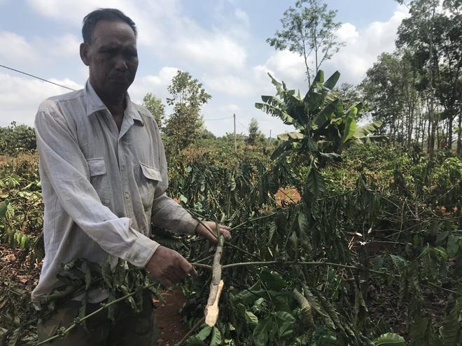 Hàng ngàn cây cà phê đang đậu quả bị chặt hạ trong đêm - Ảnh 2.