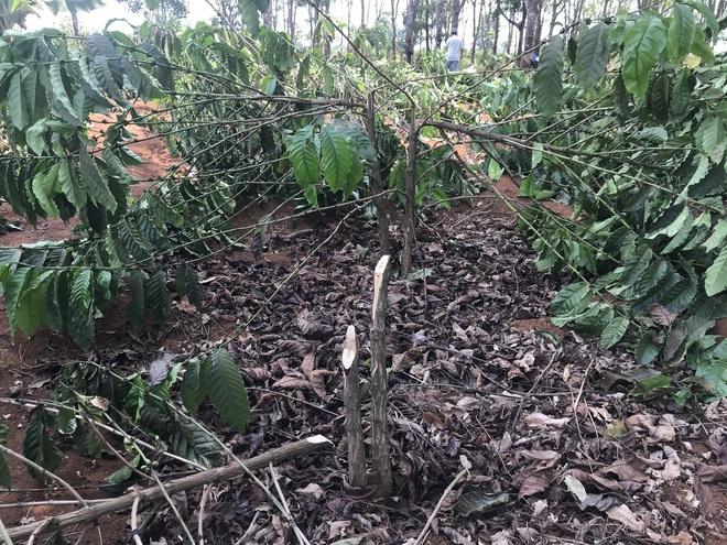Hàng ngàn cây cà phê đang đậu quả bị chặt hạ trong đêm - Ảnh 1.