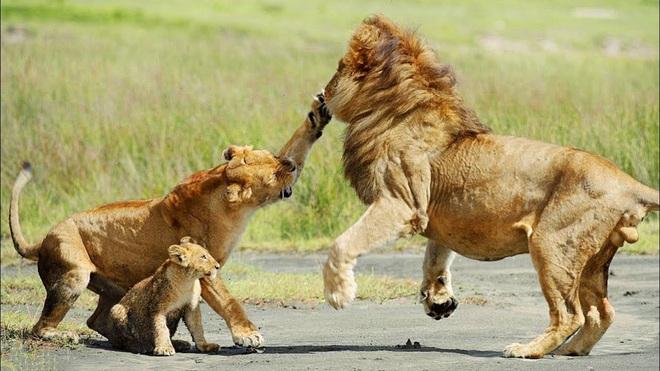 Thấy sư tử đực lại gần con mình, bầy sư tử cái hợp sức đánh hội đồng - Ảnh 1.