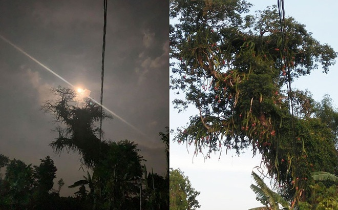 Cây thanh long cổ thụ ma mị dưới ánh trăng khiến dân mạng bất ngờ, hình ảnh ban ngày còn gây thích thú hơn