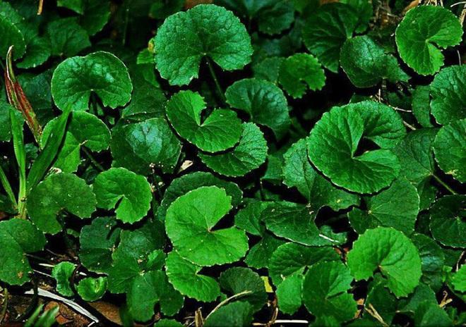 Một số tác dụng của rau má đối với sức khỏe - Ảnh 1.