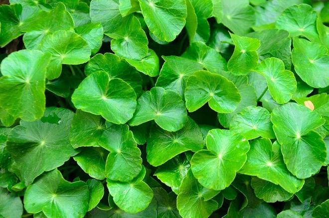 Một số tác dụng của rau má đối với sức khỏe - Ảnh 5.