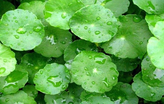 Một số tác dụng của rau má đối với sức khỏe - Ảnh 6.