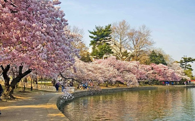 Quảng Bình tổ chức lễ hội hoa Anh đào trị giá 100 triệu USD