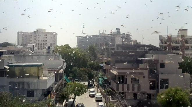 Ấn Độ oằn mình trước bão châu chấu: Loài côn trùng nhỏ bé nhưng sức phá hoại vô cùng khủng khiếp! - Ảnh 1.