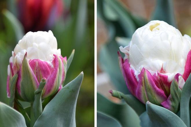 Ngỡ ngàng loài hoa lạ khi nở giống hệt cây kem, nhìn là muốn ăn - Ảnh 1.