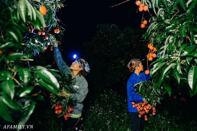"""Lần đầu vào tận vườn vải xem cảnh người nông dân soi đèn pin đi thu hoạch khi trời còn tối mịt vì """"sợ vải chết ngộp"""" - ảnh 4"""