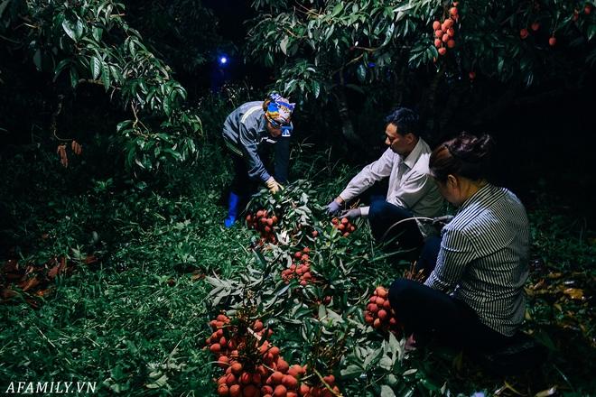 """Lần đầu vào tận vườn vải xem cảnh người nông dân soi đèn pin đi thu hoạch khi trời còn tối mịt vì """"sợ vải chết ngộp"""" - ảnh 5"""