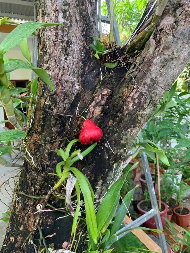 Quả roi ngang ngược khiến dân mạng bật cười: Mọc trực tiếp từ thân cây, lẻ loi một mình - Ảnh 2.