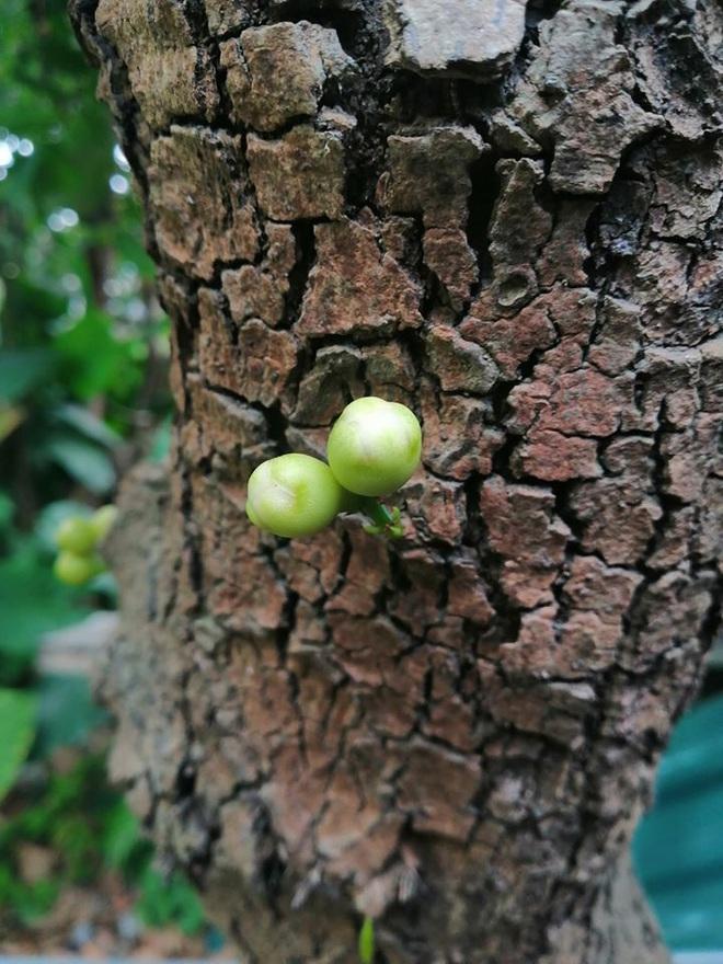 Quả roi ngang ngược khiến dân mạng bật cười: Mọc trực tiếp từ thân cây, lẻ loi một mình - Ảnh 3.