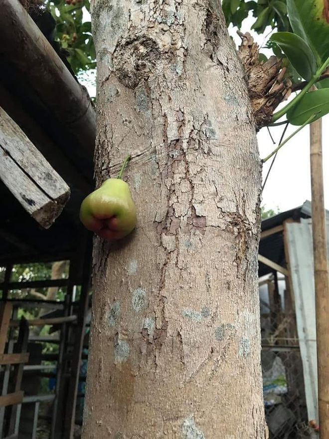 Quả roi ngang ngược khiến dân mạng bật cười: Mọc trực tiếp từ thân cây, lẻ loi một mình - Ảnh 1.