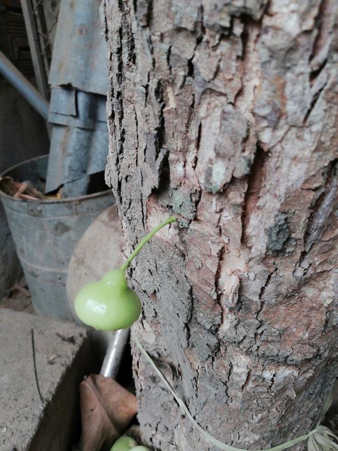 Quả roi ngang ngược khiến dân mạng bật cười: Mọc trực tiếp từ thân cây, lẻ loi một mình - Ảnh 4.