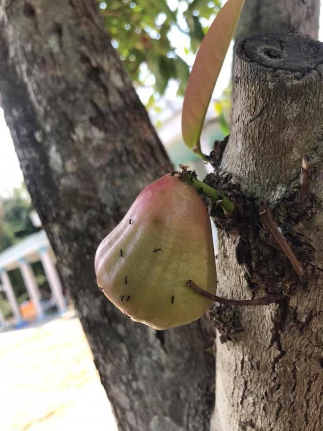 Quả roi ngang ngược khiến dân mạng bật cười: Mọc trực tiếp từ thân cây, lẻ loi một mình - Ảnh 5.
