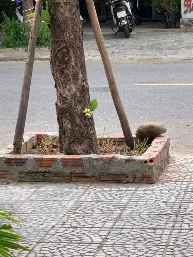 Quả roi ngang ngược khiến dân mạng bật cười: Mọc trực tiếp từ thân cây, lẻ loi một mình - Ảnh 6.