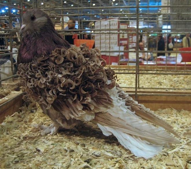 Chiêm ngưỡng loài chim bồ câu có bộ lông xoăn tít độc nhất vô nhị - Ảnh 4.