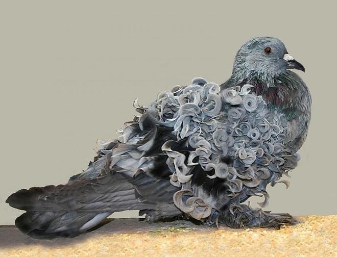 Chiêm ngưỡng loài chim bồ câu có bộ lông xoăn tít độc nhất vô nhị - Ảnh 5.