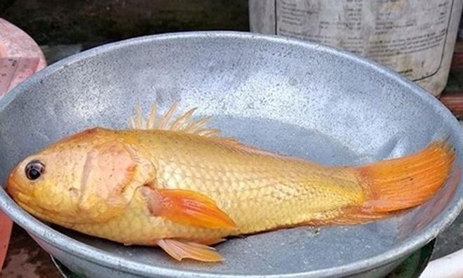 Cá trê râu 8 cọng và những siêu đột biến kỳ bí độc nhất đất Việt - Ảnh 10.