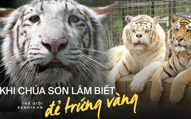 Sự thật đau lòng đằng sau những con hổ trắng oai hùng: Khi biểu tượng huyền thoại là sản phẩm của một ngành công nghiệp siêu lợi nhuận nhưng phi đạo đức