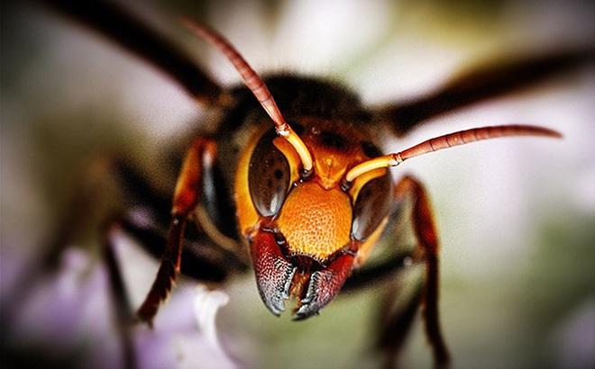 Ong bắp cày giết người trong nháy mắt, sao gọi chúng là ong diệt chủng?