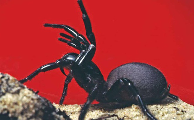 Hết cháy 'đại thảm họa' đến lũ lụt, giờ nước Úc giờ tiếp tục phải hứng chịu cơn mưa 'nhện độc' nguy hiểm nhất hành tinh