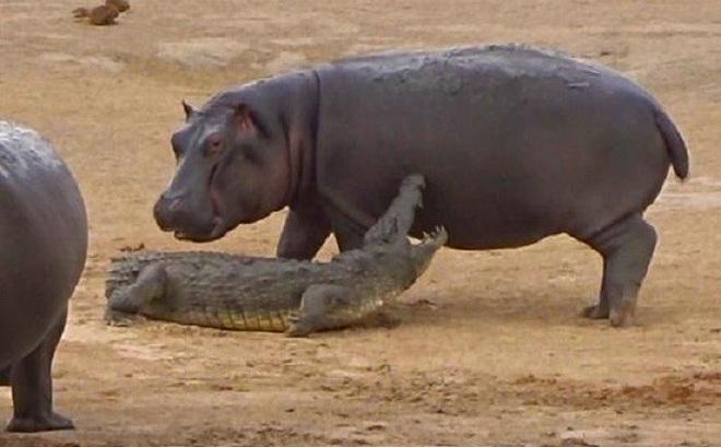 Đàn voi giải cứu cá sấu khỏi chú hà mã con 'tăng động'
