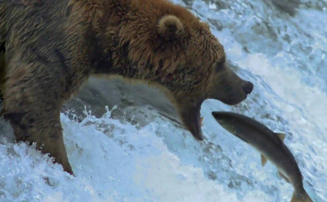 Gấu mai phục ở thác nước để săn cá hồi