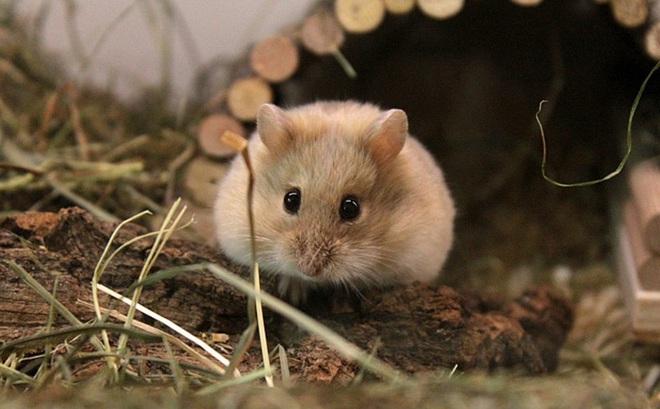 1001 thắc mắc: Chuột hamster xuất xứ từ đâu?