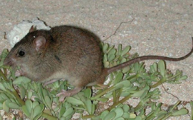 1001 thắc mắc: Loài chuột đáng thương nào bị tuyệt chủng vì biến đổi khí hậu?
