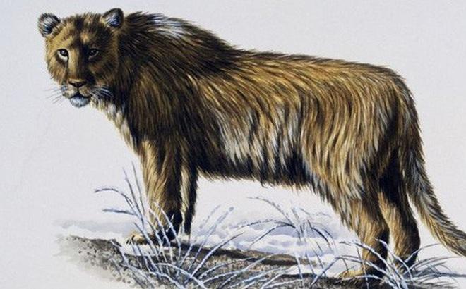 Yang's Tiger: Sư tử bản địa của Trung Quốc, nhưng lại được gọi là hổ