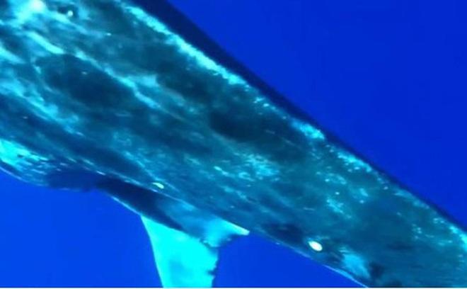 """Cận cảnh """"ca sinh nở"""" của cá voi lưng gù ngoài khơi Hawaii"""