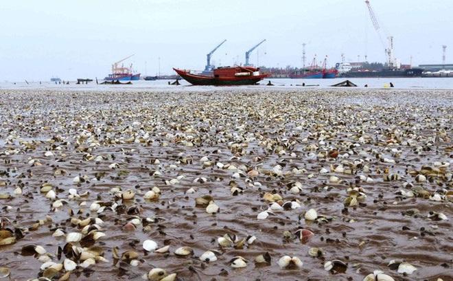 """Hàng trăm triệu đồng """"trôi ra biển"""" khi ngao chết trắng ở Nghệ An"""