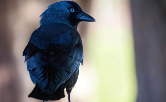 1001 thắc mắc: Loài chim nào có thể nhận biết được ai là kẻ nguy hiểm?