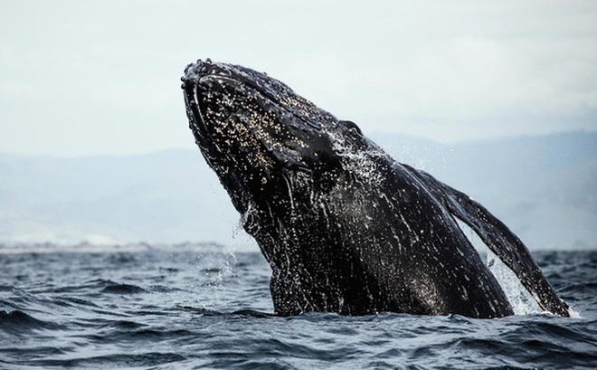 Nghiên cứu mới cho rằng Mặt trời có thể là nguyên nhân khiến cá voi xám chết vì mắc cạn