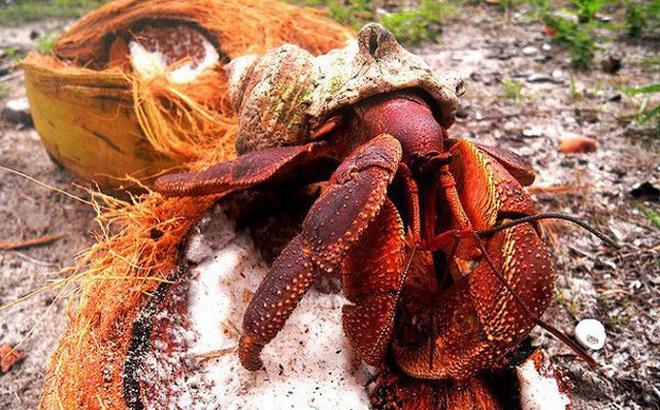 1001 thắc mắc: Vì sao gọi cua dừa là kẻ thống trị của 'Hòn đảo sợ hãi'?