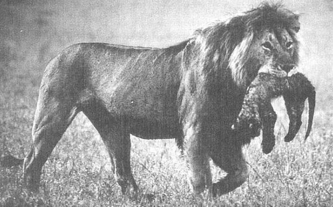 1001 thắc mắc: Vì sao sư tử mẹ ăn thịt con mình?