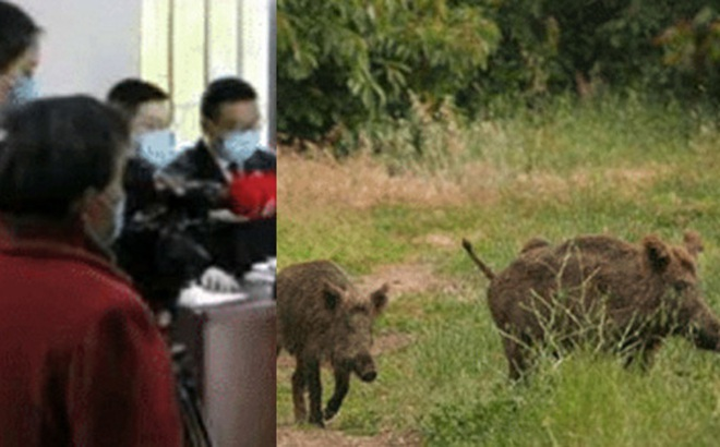 Người phụ nữ mua dây điện giết lợn rừng vì phá hoại mùa màng, nhưng đâu ngờ hành động này phải đối mặt với hậu quả khôn lường