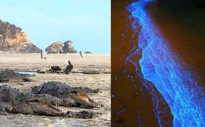 Mặt biển phát sáng sau 60 năm, cá sấu tràn lên bờ ở Mexico giữa lúc cả nước phong tỏa vì dịch Covid-19