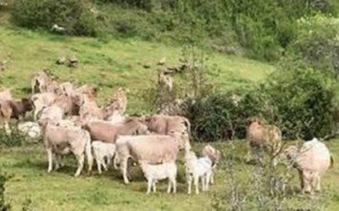 """Clip: Hàng chục con bò hợp sức đánh bại bầy kền kền như phim """"hành động"""" để bảo vệ bê con"""